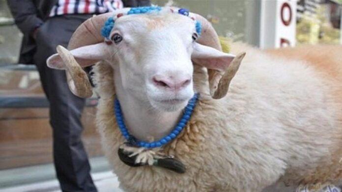 عامل بمعهد ثانوي يضع خروف العيد في قاعة تدريس داخل المعهد